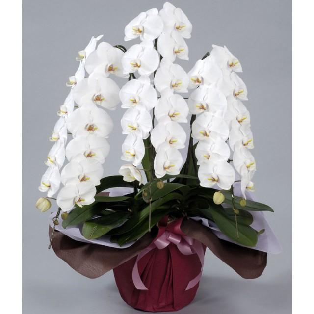 Premium White Phalaenopsis Orchid