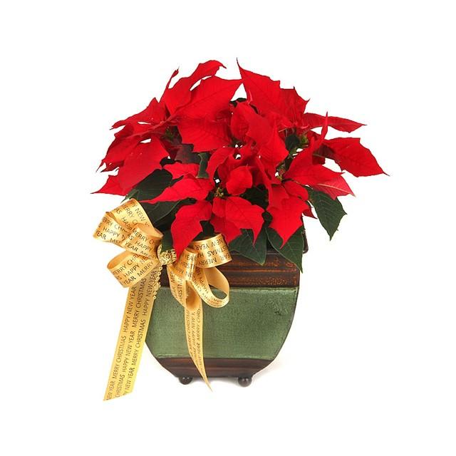 Christmas Poincettia