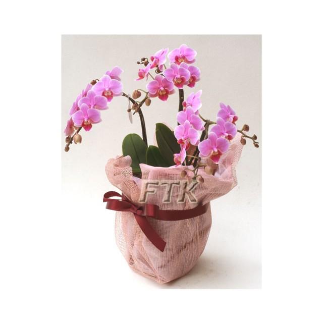 Standard Phalaenopsis Orchid