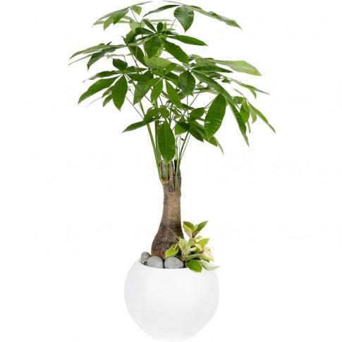 Happy Money Tree (Pakira)